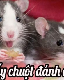 Nằm mơ thấy chuột là điềm gì?